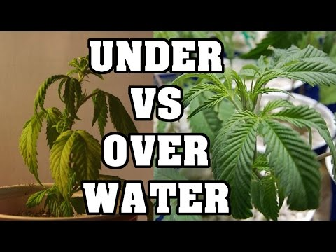 Over Watering And Under Watering Cannabis