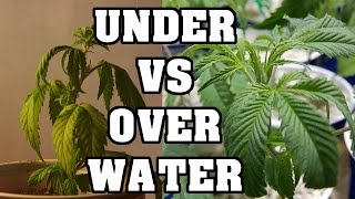 Over Water and Under Watering Cannabis