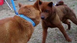 岐阜県の小型地犬です.