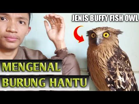 MENGENAL BURUNG HANTU BUFFY FISH OWL 🦉