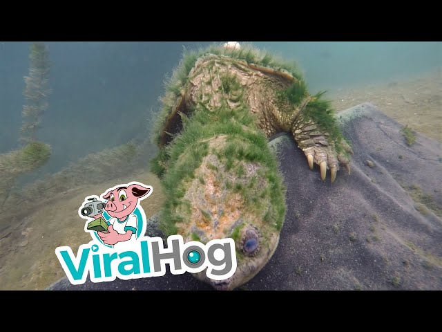 Old Snapping Turtle Says Hi || ViralHog