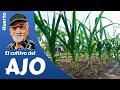 El cultivo del ajo