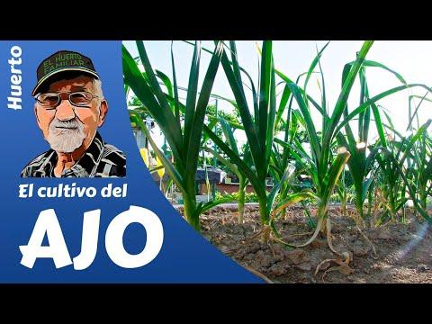 El cultivo del ajo- Guía completa