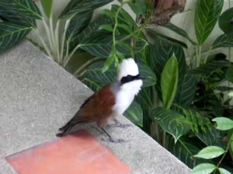 Gay Bird - White Crested Laughing Thrush