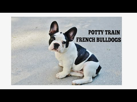 How To Quickly Potty Train French Bulldogs
