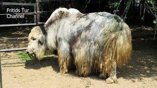 The domestic yak (Bos grunniens)