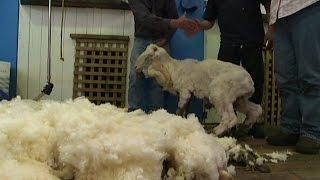 6 yıl kırkılmayan koyundan 23 kilo yün