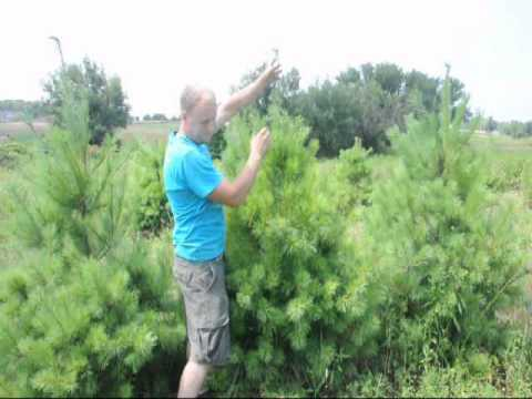 Trimming White Pine Trees To a Single Leader