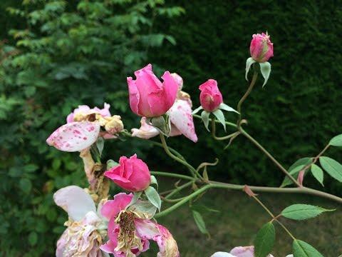 Boutons du rosier 'Mortimer Sackler'  de 'David Austin' Le bouquet régénéré