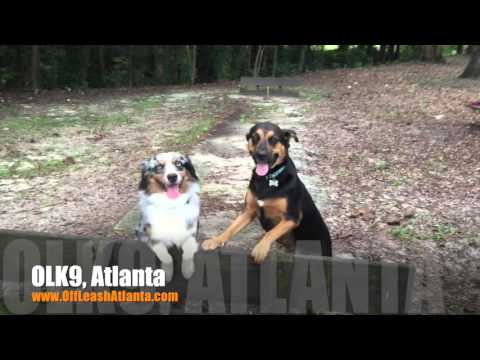 2 Year Old Australian Shepherd 'Ranger' Before/After Video | Dog Training Atlanta