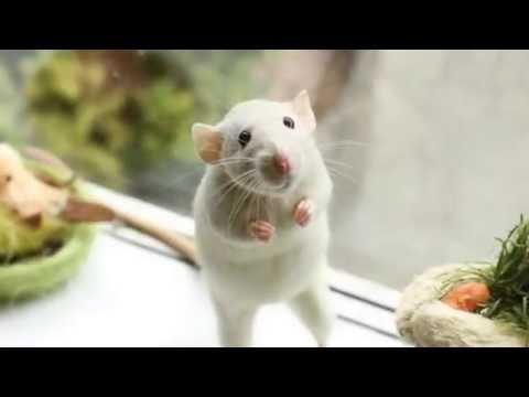 Плюсы и минусы декоративных крыс