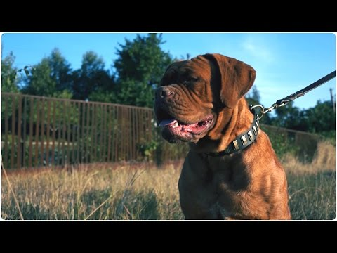 "Dogue de Bordeaux walking in ""Necklace"" Leather Dog Collar Decorated with Brass Blocks"