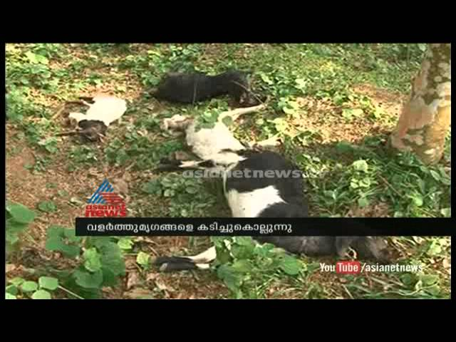 Street dogs attack and kills goats in village , farmers on crisis : Chuttuvattom News