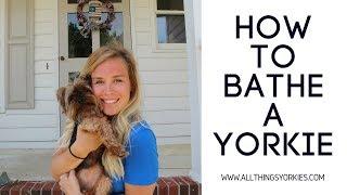 How to bathe a Yorkie