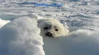 Baby seal (pup) playing on the snow (funny and cute)