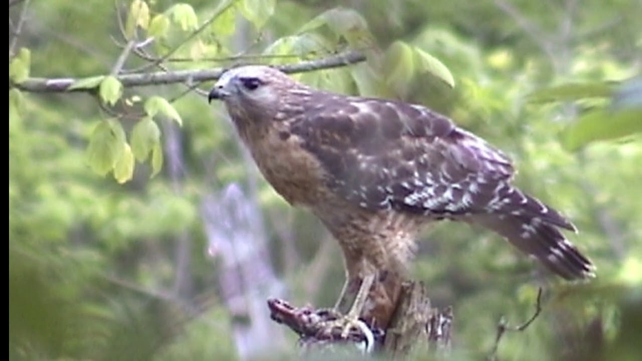 Identifying Birds in your own Backyard, WONDERFUL FOOTAGE ...