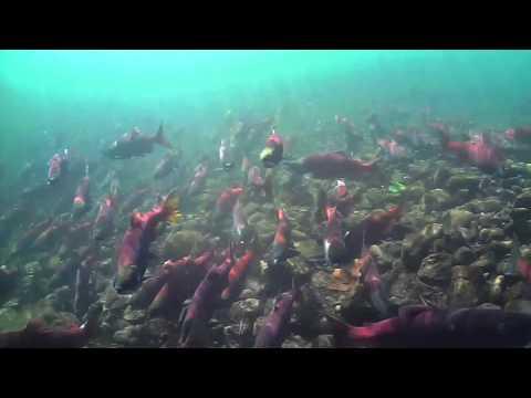 Swimming with Merwin Kokanee