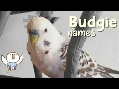 Budgie Names For MALE & FEMALE   +50 Names