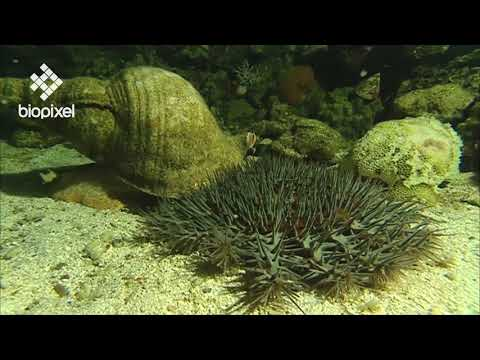 Oceanpedia   Critter finder   Mollusc   Gastropod   Giant Triton
