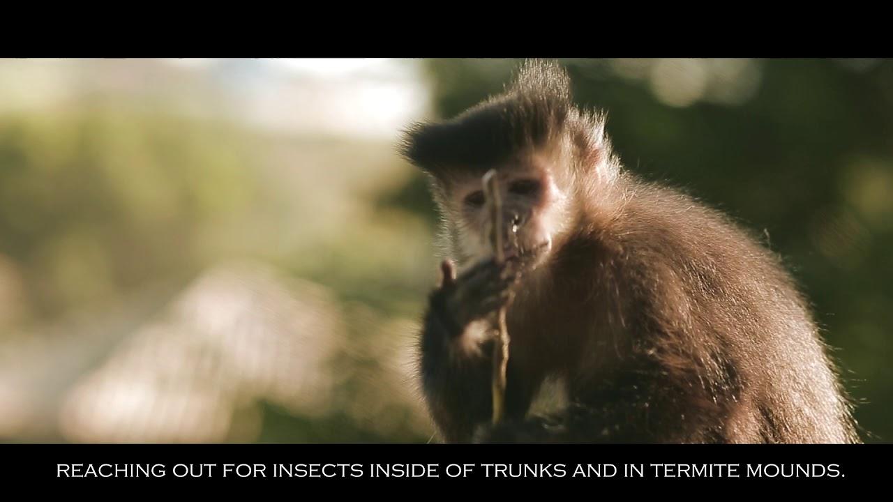 Macaco Skinner - Usando ferramentas   Using tools