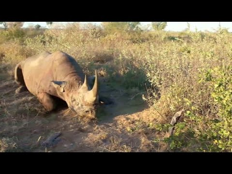 Meat from hunted black rhino distributed to villages