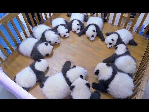 Cute Panda Video Collection,Filmed In Chinese Panda Culture  2018