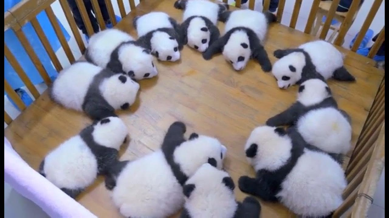 Download Cute panda video collection,Filmed in Chinese panda culture  2018