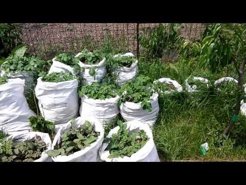 Китайский метод посадки картошки.