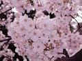 敬愛する井上陽水 cover sound 「桜三月散歩道」