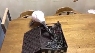 Funny Parrot Annoying Bengal Cat - Cute Parrot And Cat Videos