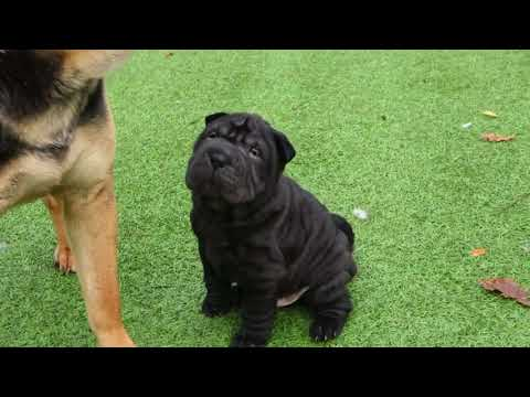 Black Sharpei Puppy 5.5 Weeks Old