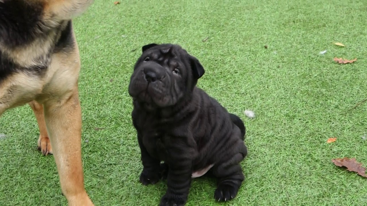 Black Sharpei Puppy 5 Weeks Old You