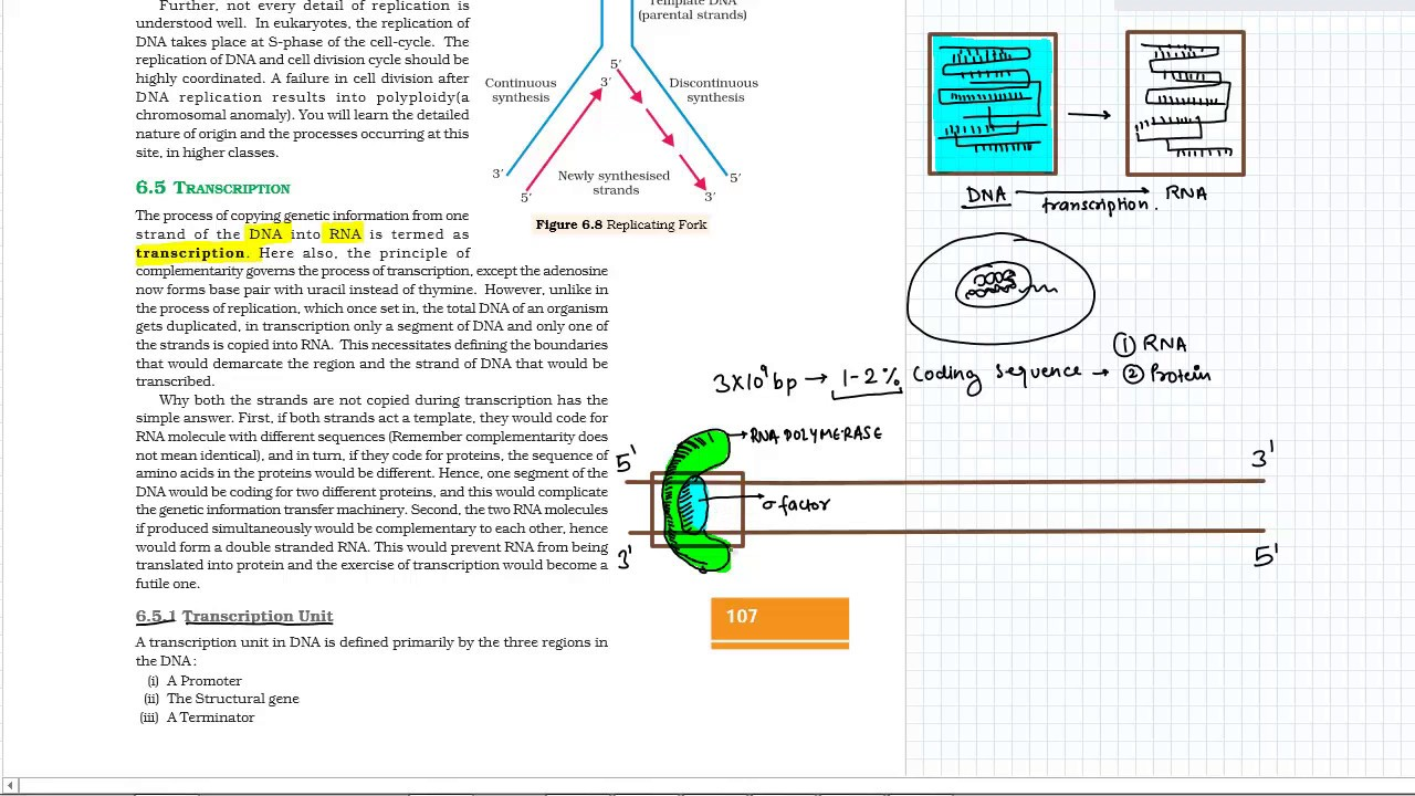 chapter 6: molecular basis of inheritance (transcription) (ncert