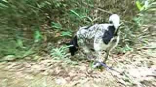 バックスキーンの特徴: この犬種は、他の猟犬同様、自信に満ち、粘り強い犬種...