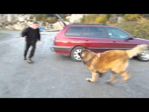 Leonberger dog Aslan - wooohoooowww!!! what a fun ...