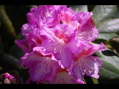 РОДОДЕНДРОН Rhododendron Подмосковные виды, сорта