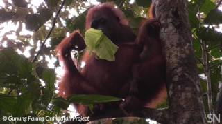 Baby orangutans can nurse for a long time | Science News