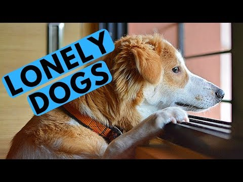 Do Dogs Get Lonely When Left Home Alone? ROCADOG QNA 4