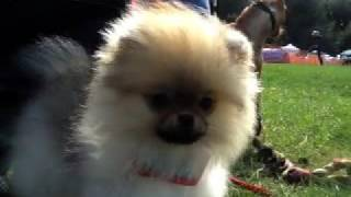 Adorable Pomeranian Puppy & Miniature Pinscher