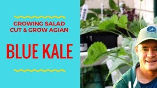 Growing Salad Blue Kale Baby Leaf Greens Are 100% Awesome