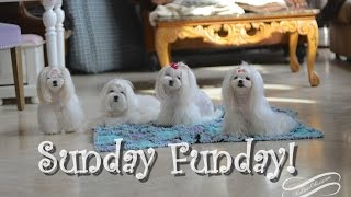 Life:  Sunday Funday Maltese Play -pretty Puppy  Ddopen Our Eyes Lord/turn Your Eyes Upon Jesus