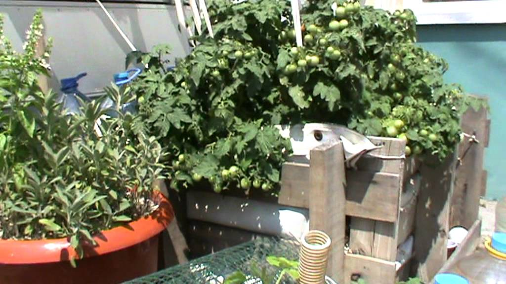 Wicking Bed Tomatoes Vilma Youtube