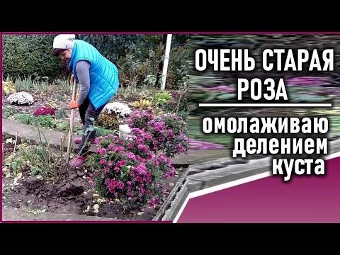 Размножение розы делением куста  Что делать со старым кустом розы