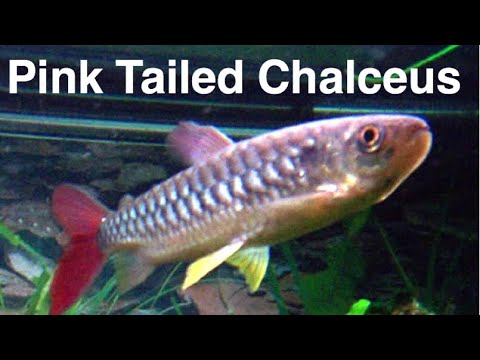 Pink Tailed Chalceus Care - RARE Fish