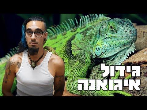 גידול איגואנה כזוחל ראשון Green iguana
