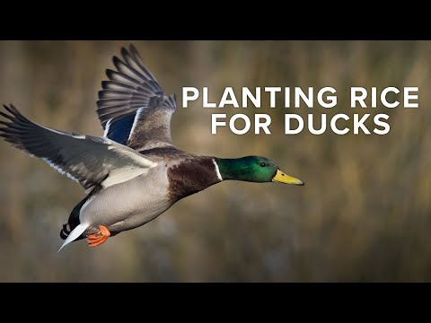 How To Plant Rice For Duck Hunting | Food Plot In Timber Hole | Rusty Creasey of Coca Cola Woods