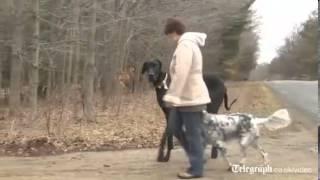Самая большая в мире собака.