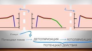 Фундаментальные знания об ЭКГ часть 1 (ПП, ПД, деполяризация, реполяризация)