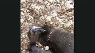 Baby otter sucks his thumb in the most adorable way