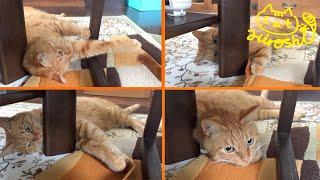 茶トラ猫「ひろし」ステイホーム…でも孫の手があればへっちゃらニャ!…テーブルとチェアの間編